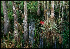 Bromeliads and cypress growing in swamp, Corkscrew Swamp. Corkscrew Swamp, Florida, USA (color)