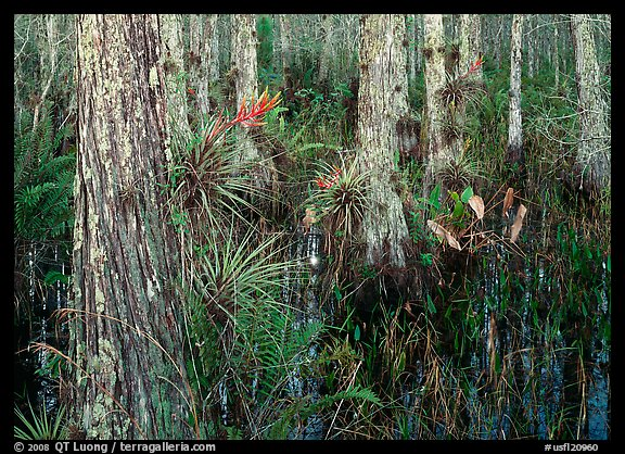 Swamp with cypress and bromeliad flowers, Corkscrew Swamp. USA (color)