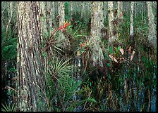 Swamp with cypress and bromeliad flowers, Corkscrew Swamp. Corkscrew Swamp, Florida, USA
