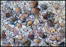Close-up of shells, Sanibel Island. Sanibel Island, Florida, USA (color)