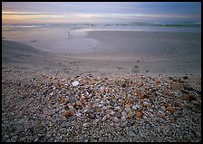 Beach covered with sea shells, sand dollar, shore bird, sunrise. Sanibel Island, Florida, USA