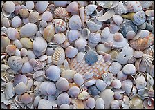 Close-up of shells with pastel colors, Sanibel Island. Florida, USA (color)