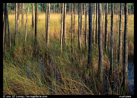 Grasses and trees at edge of swamp, Corkscrew Swamp. USA (color)