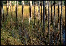 Grasses and trees at edge of swamp, Corkscrew Swamp. Corkscrew Swamp, Florida, USA (color)
