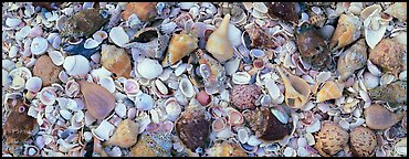 Beach close-up with seashells. Sanibel Island, Florida, USA (Panoramic color)