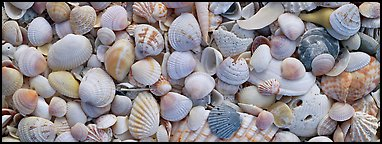 Sea shell carpet close-up. Sanibel Island, Florida, USA (Panoramic color)