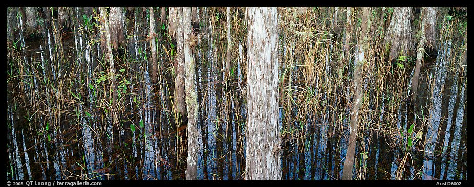 Swamp scenery with cypress. Corkscrew Swamp, Florida, USA (color)