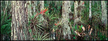 Swamp landscape with flowers. Corkscrew Swamp, Florida, USA (Panoramic color)