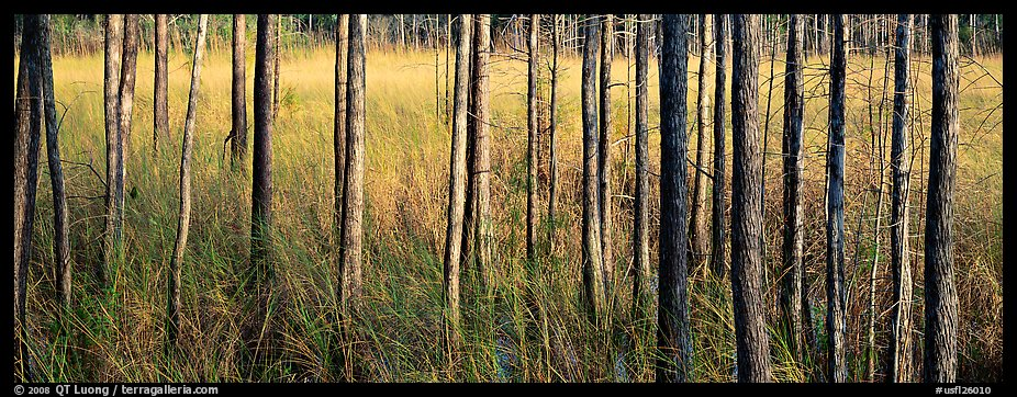 Landscape with trees and grasses. Corkscrew Swamp, Florida, USA (color)