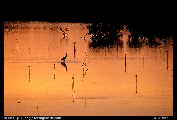 Bird at sunset among mangroves, Cudjoe Key. The Keys, Florida, USA