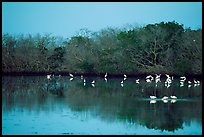 Pond with wading birds, Ding Darling NWR. Sanibel Island, Florida, USA (color)