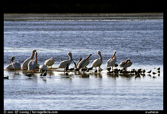 Pelicans and smaller birds, Ding Darling National Wildlife Refuge. Sanibel Island, Florida, USA (color)