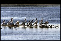 Pelicans and smaller birds, Ding Darling National Wildlife Refuge, Sanibel Island. Florida, USA (color)