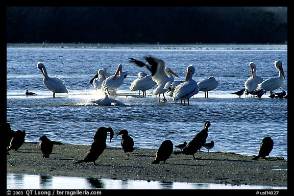 Pelicans splashing, smaller birds standing,  Ding Darling NWR. Sanibel Island, Florida, USA