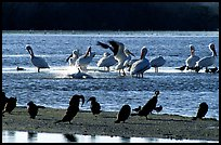 Pelicans splashing, smaller birds standing,  Ding Darling NWR. Sanibel Island, Florida, USA (color)