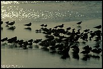 Flock of migrating birds, Ding Darling National Wildlife Refuge. Sanibel Island, Florida, USA ( color)