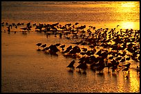 Large flock of birds at sunset, Ding Darling NWR. Florida, USA (color)