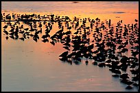 Flock of birds with sunset colors reflected, Ding Darling NWR, Sanibel Island. Florida, USA (color)