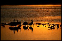 Pelicans and other birds at sunset, Ding Darling NWR. Sanibel Island, Florida, USA (color)