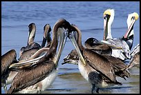 Pelicans. Sanibel Island, Florida, USA