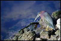 Green-backed heron, Ding Darling NWR, Sanibel Island. Florida, USA (color)