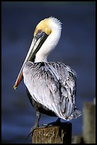 Pelican perched on pilar, Sanibel Island. Florida, USA