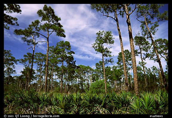 Pine forest with palmetto undergrowth. Corkscrew Swamp, Florida, USA (color)