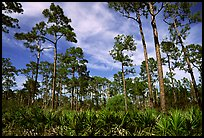 Pine forest with palmetto undergrowth. Corkscrew Swamp, Florida, USA