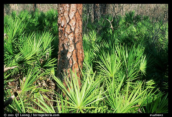 Pine trunk and palmeto. Corkscrew Swamp, Florida, USA (color)
