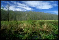 Sawgrass and cypress dome. Corkscrew Swamp, Florida, USA (color)