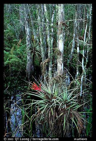 Bromeliads and cypress. Corkscrew Swamp, Florida, USA