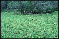 Water lettuce pond with alligator in the distance. Corkscrew Swamp, Florida, USA
