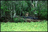 Aligator on the banks of pond. Corkscrew Swamp, Florida, USA (color)