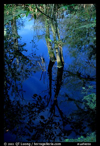 Cypress reflected in dark swamp. Corkscrew Swamp, Florida, USA