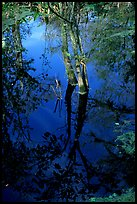 Cypress reflected in dark swamp. Corkscrew Swamp, Florida, USA (color)