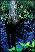 Large cypress reflected in swamp. Florida, USA