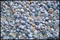 Shells washed on shore. Sanibel Island, Florida, USA (color)