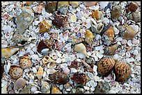 Sea shells close-up. Sanibel Island, Florida, USA (color)