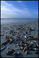 Shells washed-up on shore. Sanibel Island, Florida, USA