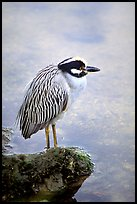 Yellow-crowned night heron, Ding Darling NWR, Sanibel Island. Florida, USA (color)