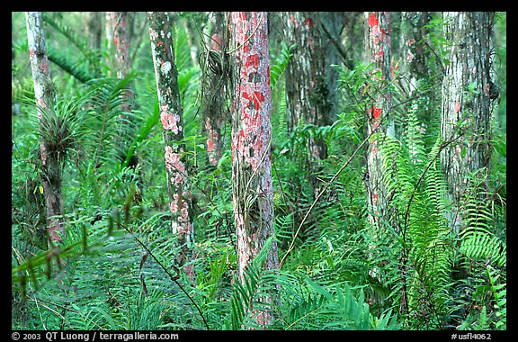 Trunks covered with red lichen, Loxahatchee National Wildlife Refuge. Florida, USA (color)