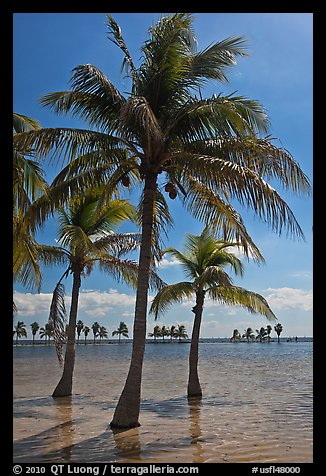Palm trees in pond,  Matheson Hammock Park, Coral Gables. Florida, USA (color)