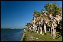 Dense grove of Palm trees, Fort De Soto Park. Florida, USA ( color)