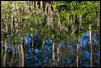 Bald Cypress and Spanish moss reflections, Big Cypress National Preserve. Florida, USA (color)