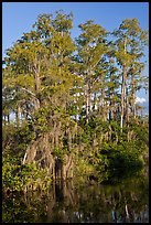 Bald Cypress with Spanish Moss near Tamiami Trail, Big Cypress National Preserve. Florida, USA (color)