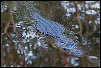 Alligator swimming in pond, Big Cypress National Preserve. Florida, USA (color)