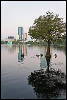 Bald Cypress tree in Lake Eola and high rise buildings. Orlando, Florida, USA (color)