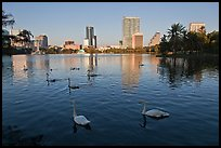 Swans and skyline, lake Eola. Orlando, Florida, USA (color)