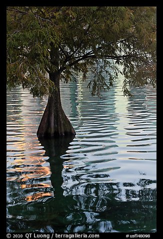 Bald Cypress and reflections, Lake Eola. Orlando, Florida, USA