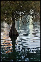 Bald Cypress and reflections, Lake Eola. Orlando, Florida, USA (color)